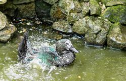 Cayugaente, die in einem Teich spritzt Stockbild