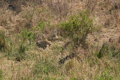 Caza africana del leopardo fotografía de archivo