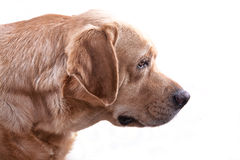 Caza amarilla de Labrador Fotos de archivo libres de regalías