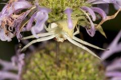 Caza amarilla oscura en una flor del bálsamo de abeja, Connecticut de la araña del cangrejo Fotos de archivo libres de regalías