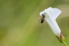Caza blanca de la araña Imagen de archivo libre de regalías