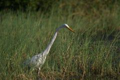 Caza blanca de la garceta para los pescados en las regiones pantanosas Foto de archivo