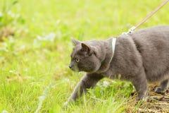 Caza británica adulta del gato del shorthair en la hierba Imagenes de archivo
