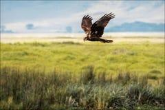 Caza de Eagle del africano foto de archivo