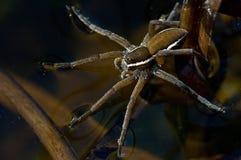 Caza de la araña de la balsa Imagenes de archivo