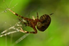 Caza de la araña en su web por la mañana del comienzo del verano Fotos de archivo libres de regalías