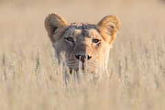 Caza de la leona fotos de archivo libres de regalías