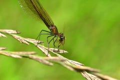 Caza de la libélula para el mosquito y consumición de una mosca fotografía de archivo