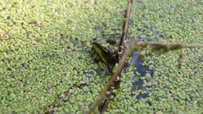 Caza de la rana Fotografía de archivo libre de regalías