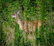Caza de los ciervos Fotografía de archivo