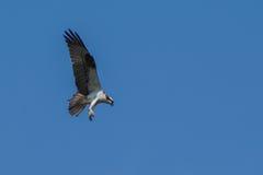 Caza de Osprey imagen de archivo