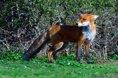 Caza de zorro rojo en un prado fotografía de archivo