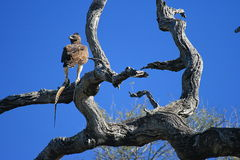 Caza del águila Fotos de archivo