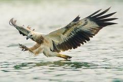Caza del águila de mar Foto de archivo