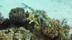 Caza del Cornetfish en el arrecife de coral tropical almacen de video