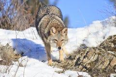 Caza del coyote para la presa imagenes de archivo