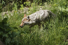 Caza del coyote para la presa Fotos de archivo