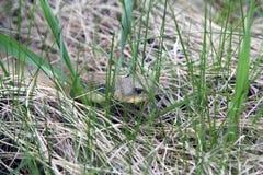 Caza del este de la serpiente de Hognose foto de archivo
