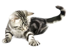 Caza del gatito Imagen de archivo libre de regalías