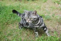 Caza del gato Fotografía de archivo libre de regalías