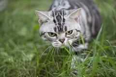Caza del gato Imágenes de archivo libres de regalías