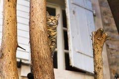 Caza del gato de Mediterranian del árbol Imagen de archivo