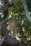 Caza del guepardo imagen de archivo