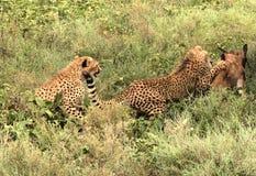 Caza 3 del guepardo Foto de archivo libre de regalías