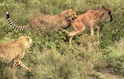 Caza 2 del guepardo Imagen de archivo