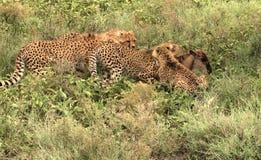 Caza 4 del guepardo Foto de archivo libre de regalías