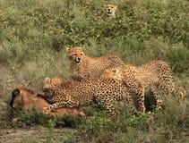 Caza 5 del guepardo Imagenes de archivo