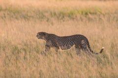 Caza del guepardo en la puesta del sol Imagen de archivo libre de regalías