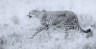 Caza del guepardo a través de la hierba seca para que presa persiga Fotos de archivo