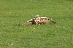 Caza del halcón Imagenes de archivo