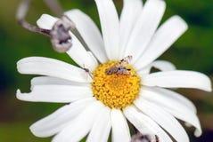 Caza del insecto Fotografía de archivo