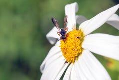 Caza del insecto Imagen de archivo