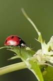 Caza del Ladybug para los áfidos Fotografía de archivo