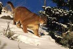 Caza del león de montaña en nieve Foto de archivo