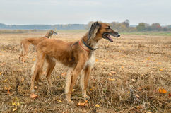 Caza del otoño con los perros Imagen de archivo libre de regalías