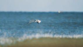 Caza del pájaro de Seugull para los pescados que vuelan sobre las aguas de mar onduladas almacen de video