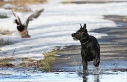 Caza del perro Imagenes de archivo