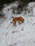 Caza del perro en un campo Nevado Foto de archivo