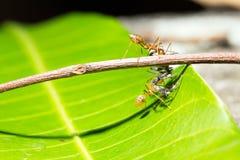 Caza del trabajo en equipo de las hormigas enfocada del grillo del cebo Imágenes de archivo libres de regalías