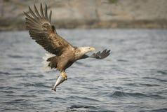 Caza Eagle Imagen de archivo libre de regalías
