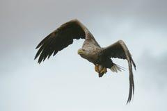 Caza Eagle con la captura Imagen de archivo