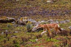 Caza etíope del lobo en parque nacional de las montañas de la bala imagen de archivo