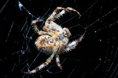 Caza europea de la araña de jardín Imágenes de archivo libres de regalías