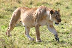 Caza femenina del león Imagen de archivo libre de regalías