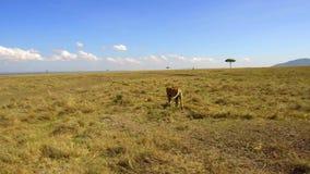 Caza joven del león en sabana en África almacen de video
