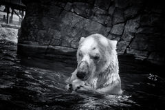 Cazador blanco del oso polar Fotos de archivo libres de regalías